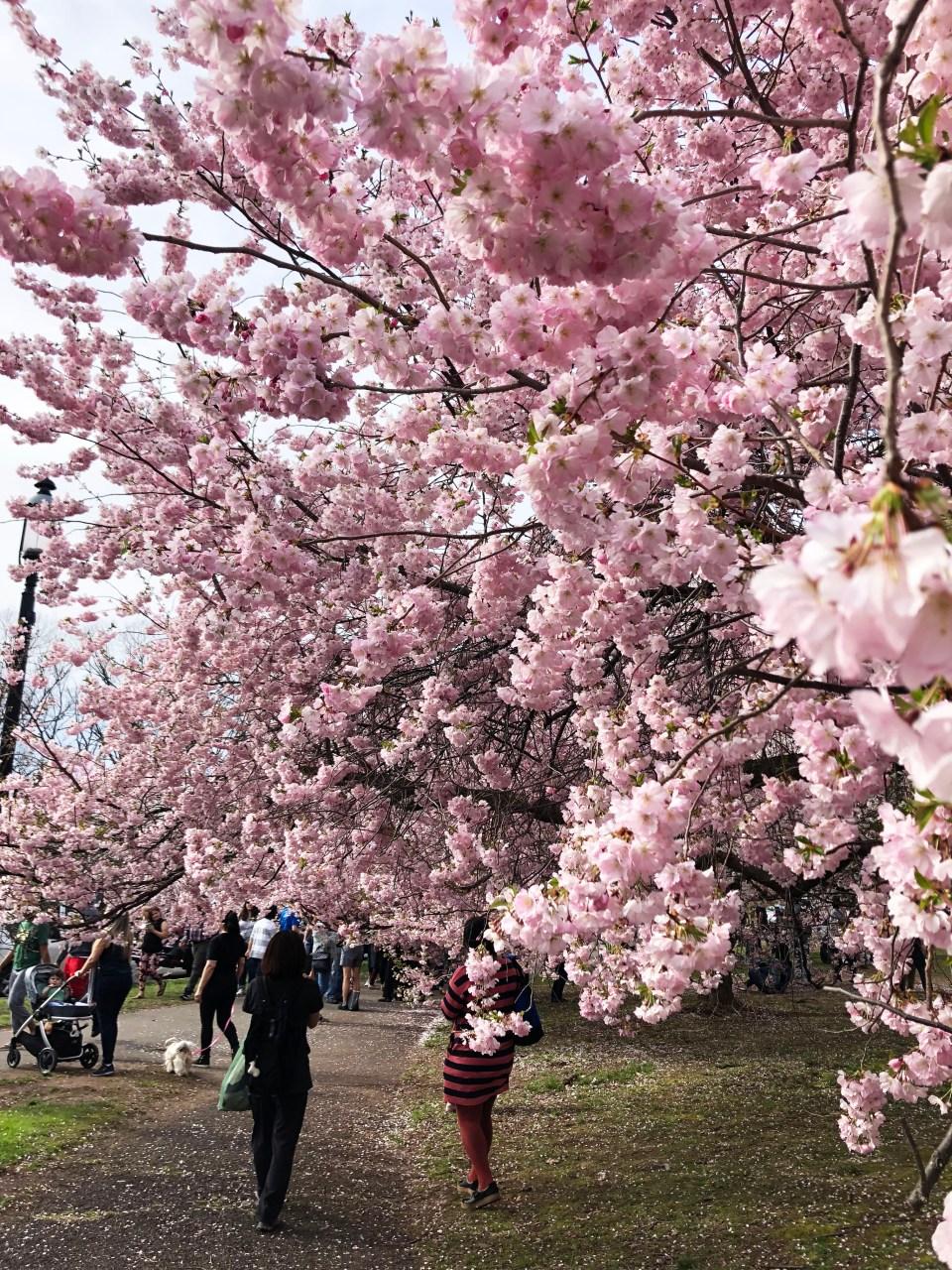 Branch Brook Park - Cherry Blossom Festival 14