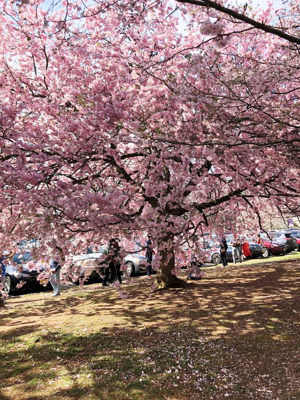 Branch Brook Park - Cherry Blossom Festival 2