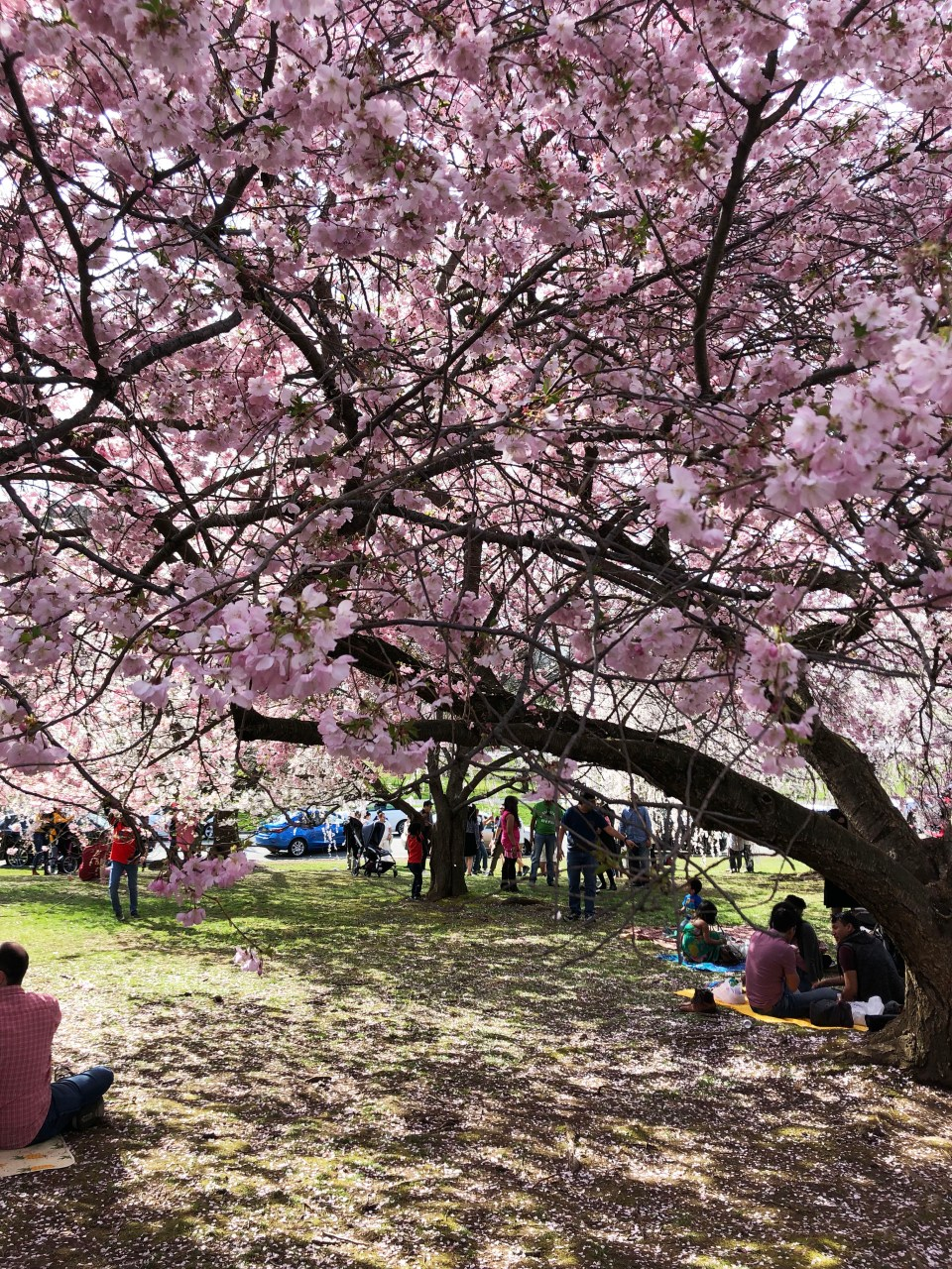 Branch Brook Park - Cherry Blossom Festival 4