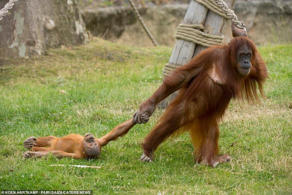 Orangutan Mom & Baby