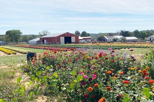 Holland-Ridge-Farms-Fall-Flowers