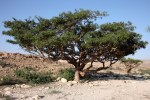 Frankincense Tree1