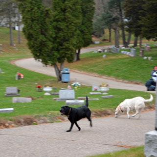 The annual cemetery dog run