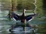 duck display