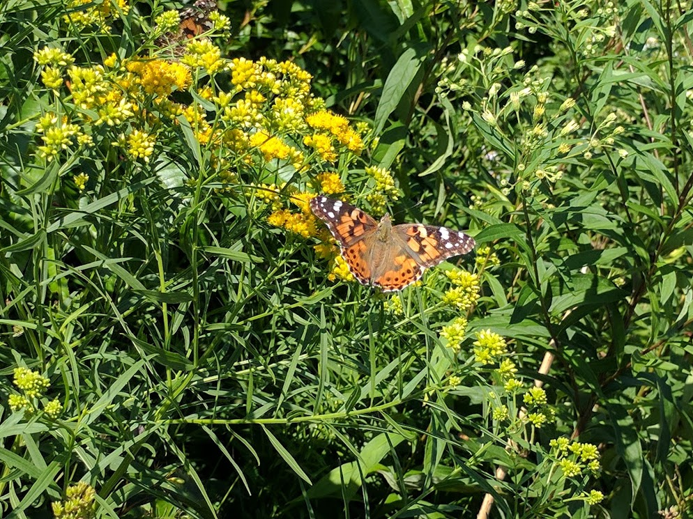 Butterflies on Cadillac Mountain