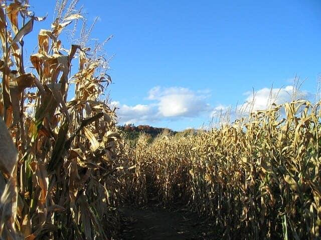 corn-418095_640
