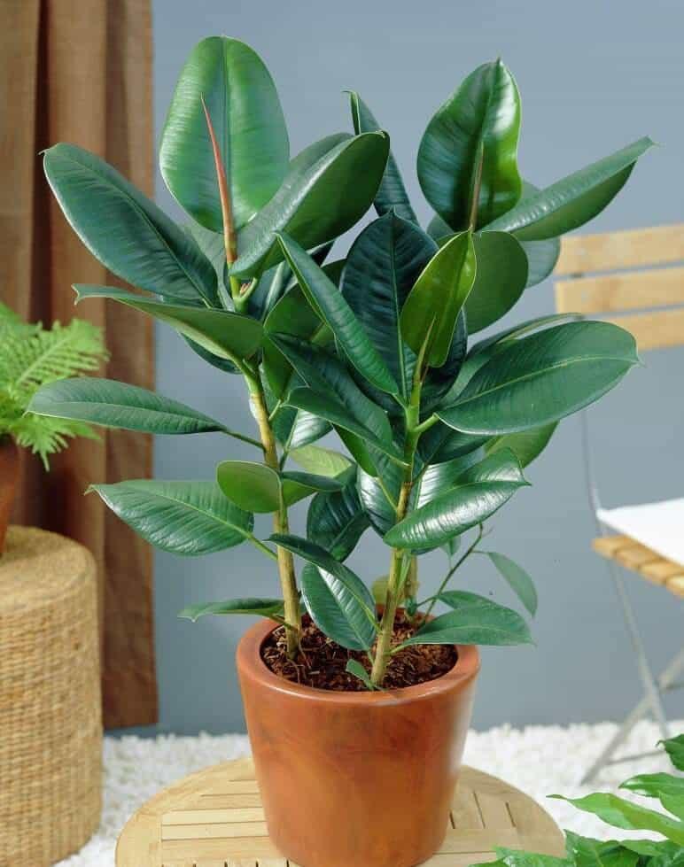 Ficus_elastica_Decora_mini