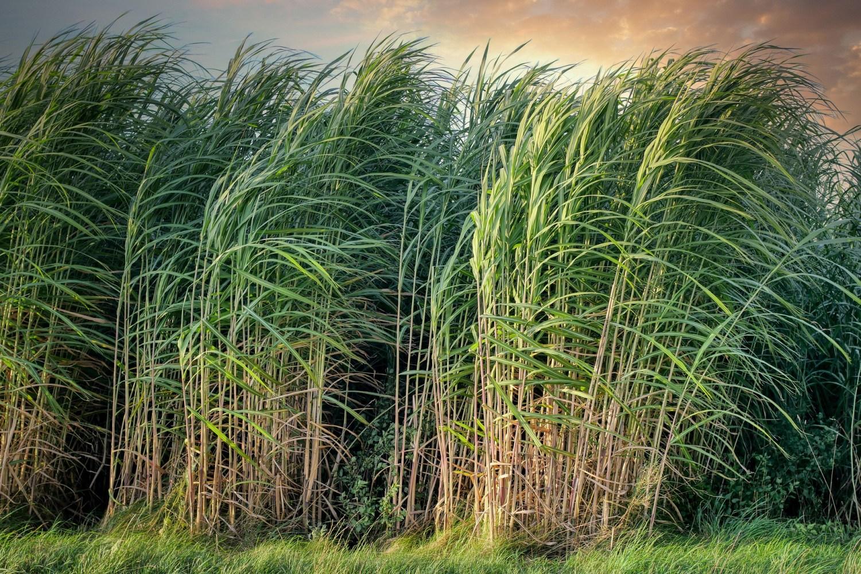 甘蔗原素是什麼?為何可以降膽固醇?甘蔗原素安全性