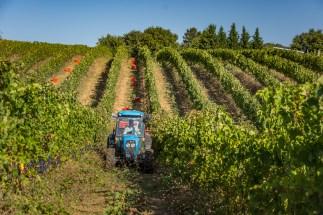 castello-di-montegiove-harvest-day-one-4942