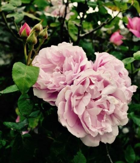 Castello di Montegiove Roses