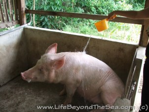Starting A Pig Farm in the Philippines