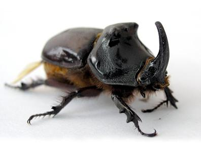 Kumbang Badak (The rhinoceros beetle)
