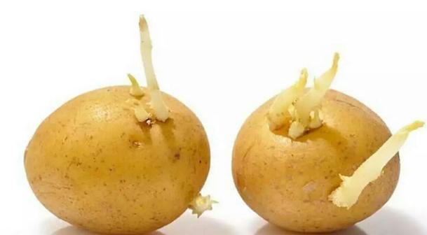 發芽馬鈴薯