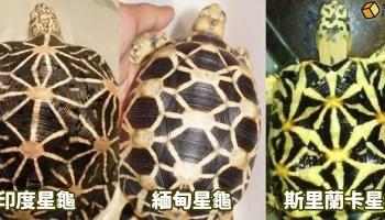 印度星龜、緬甸星龜、斯里蘭卡星龜的分別