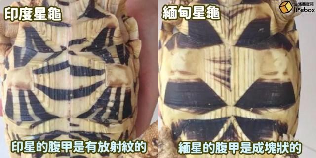 印度星龜與緬甸星龜腹部的分別