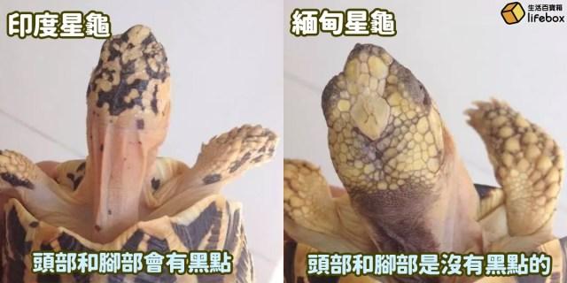 印度星龜與緬甸星龜頭部和腳部的分別
