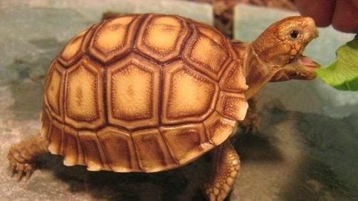 非洲盾臂龜圖文介紹|世上體型第三大的陸龜!