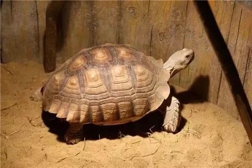 非洲盾臂龜(GroovedTortoise)