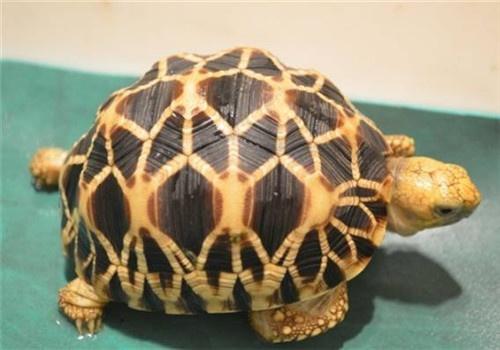 Burmese-star-tortoise-緬甸星龜
