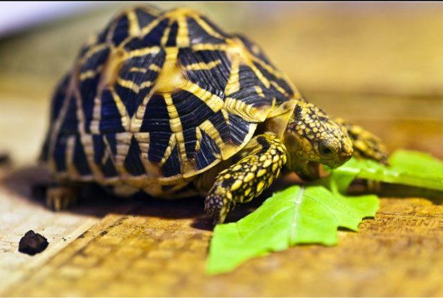 Indian star tortoise-印度星龜