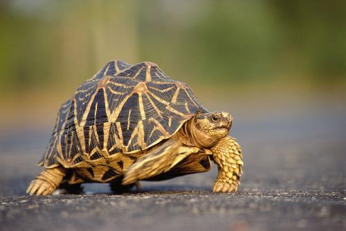 Star tortoise-斯里蘭卡星龜