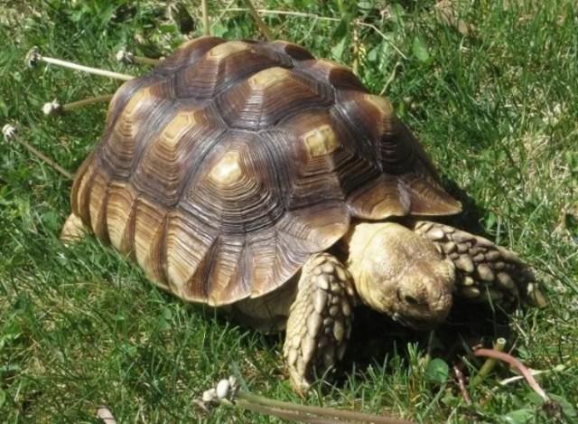 蘇卡達象龜