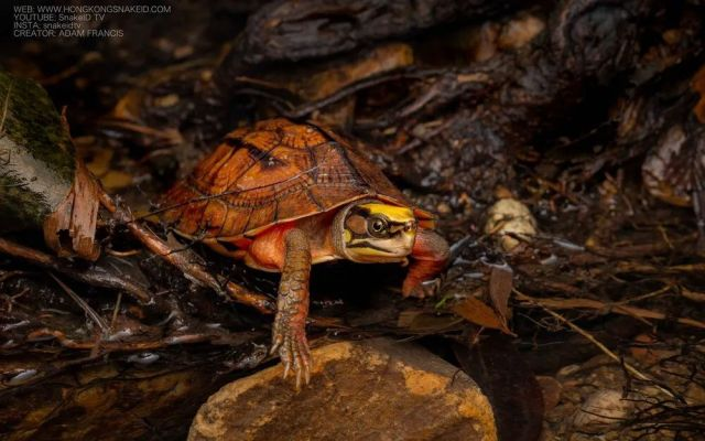 三線閉殼龜-金錢龜