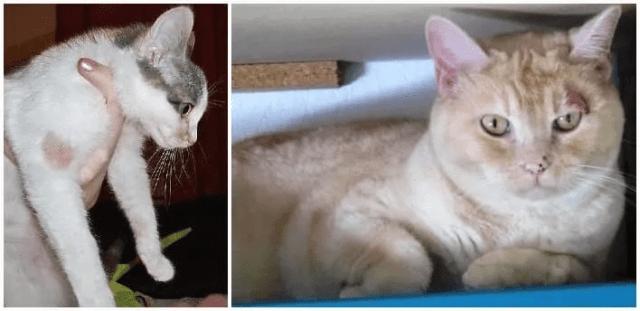 10種常見的貓咪皮膚問題 - 貓癬