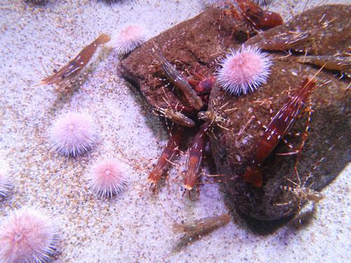 Fish 102, categorization of seafood prawn and urchin