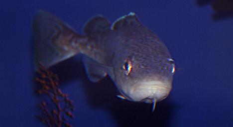 Fish 102, categorization of seafood cod