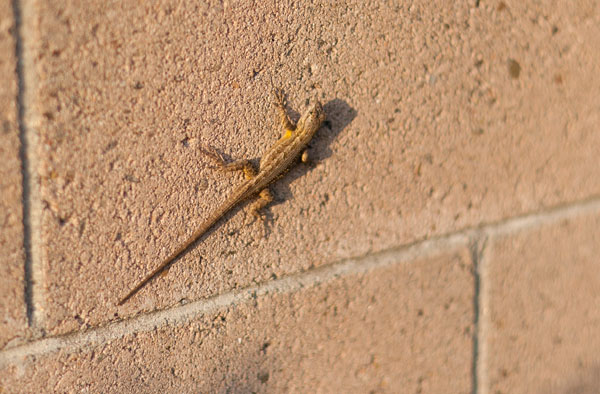 lizard in my backyard
