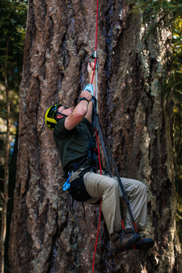 learning to climb up the douglass fir tree with ropes, gear, and foot supports
