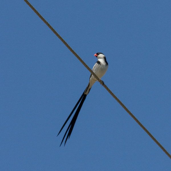 A pin-tailed Whydah on a wire spotted while backyard birding