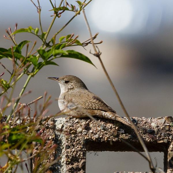 A House Wren sitting on a wall seen while Backyard Birding
