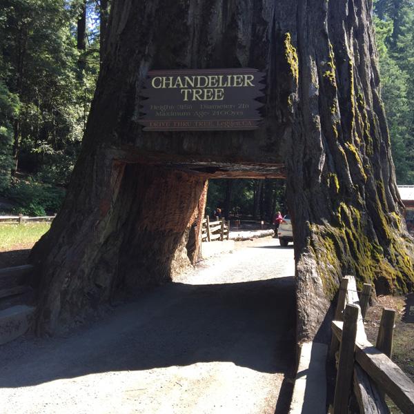 Chandelier Tree in Drive-Thru Tree