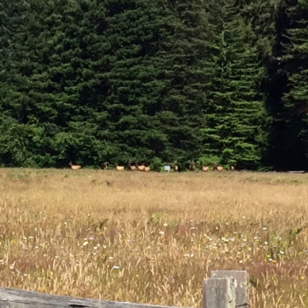 Elk in Elk Meadow, across the field