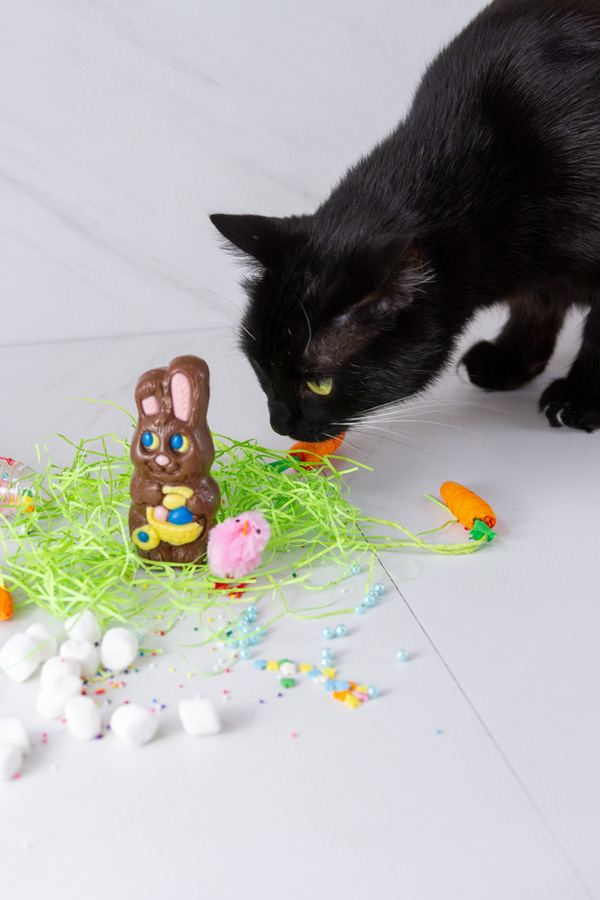 black cat sniffing a chocolate Easter bunny
