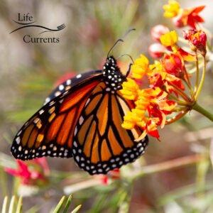 a monarch butterfly on milkweed flowers.