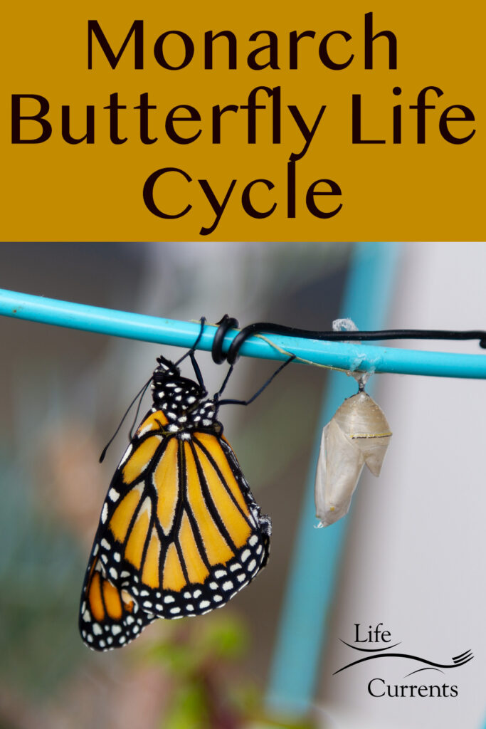 a monarch butterfly after emerging and letting its wings dry.