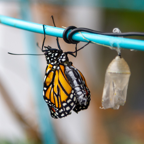 The monarch butterfly is hanging upside down to allow her wings to dry, she is next to an empty chrysalis.