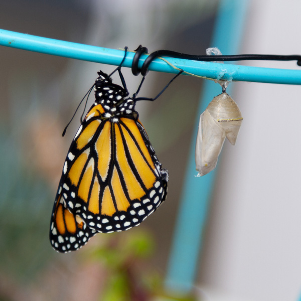 a monarch butterfly hanging upside down to dry its wings.