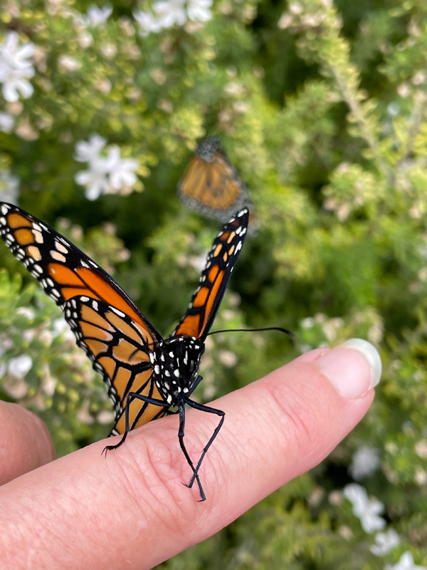 two monarch butterflies, one on a finger and one in the bush.