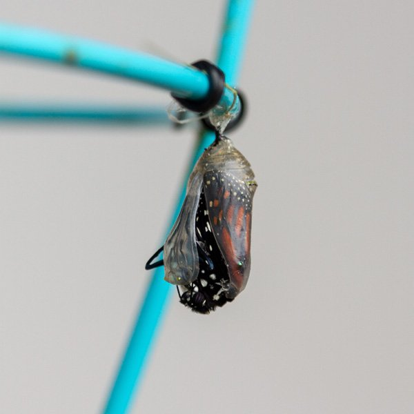the butterfly is pushing its way out of the chrysalis.