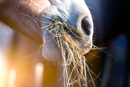 Close up of horse eating hay