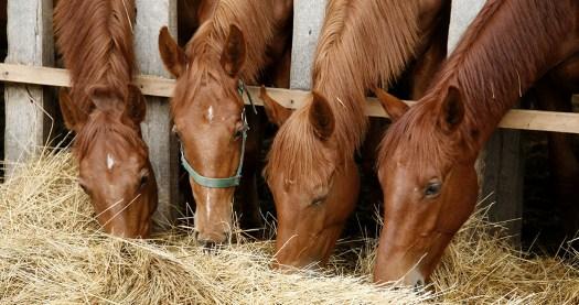 Young horses sharing hay