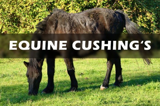 Horse with Cushing's Disease