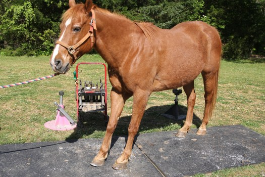"""Laminitis Horse in """"Saw Horse"""" stance"""
