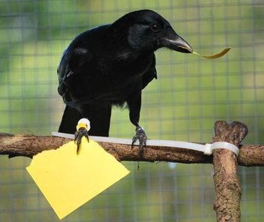 Crows Make Tools