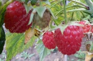 Bursting fresh organic raspberris