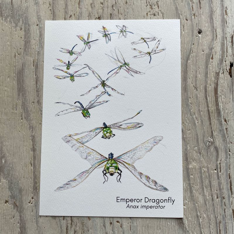 Emperor Dragonfly Flight Art Print